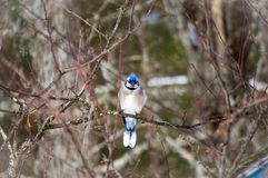 Blue Jay, das allein auf einem Baumast gleich nach einem Sturm sitzt Lizenzfreie Stockbilder