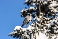 Blue Jay, das auf einem Glied sitzt Stockfoto