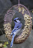 Blue Jay, das Erdnüsse erhält lizenzfreies stockbild