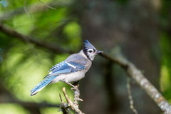 Blue Jay deep in a boreal forest in Quebec. The Blue Jay is a  common, large songbird is familiar to many people, with its perky crest; blue, white, and black Royalty Free Stock Photography