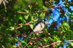 Blue Jay. Delray beach Florida palm beach Royalty Free Stock Images