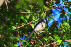 Blue Jay. Delray beach Florida palm beach Stock Photos