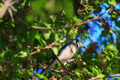 Blue Jay. Delray beach Florida palm beach Royalty Free Stock Photos