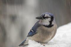 Blue Jay in den Schneefällen Lizenzfreie Stockfotos