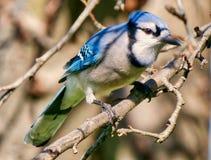 Blue Jay Royalty Free Stock Photography