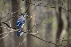 Blue Jay Early Spring Royalty Free Stock Photo