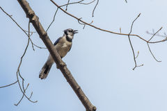 Blue Jay Early Spring Stock Image