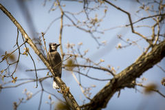 Blue Jay Early Spring Royalty Free Stock Photography