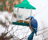 Blue Jay eating Royalty Free Stock Images