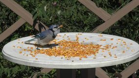 Blue Jay eating stock footage