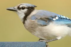 Blue Jay Eating On A Feeder Stock Images