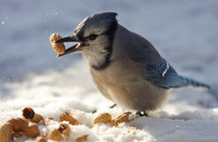Blue Jay Eating Peanuts. A blue jay - Cyanocitta cristata - is holding a peanut in its beak by a cold winter day. Quebec, Canada stock photo