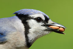 Blue Jay Eating Peanuts Royalty Free Stock Images