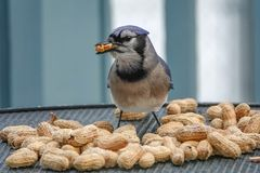 Blue Jay Eating Peanuts stock images