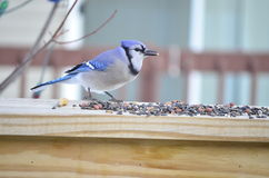 Blue Jay eating seeds Royalty Free Stock Image