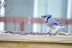 Blue Jay eating seeds Stock Image
