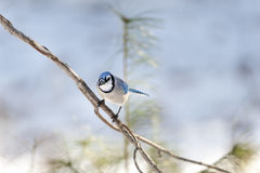 Blue Jay eye contact. Perched and attentive Blue Jay making eye contact royalty free stock photos