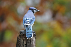 Blue Jay in Fall Royalty Free Stock Photography