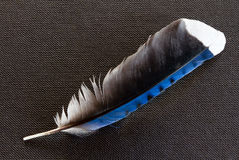 Blue Jay Feather. On black weave background Stock Photos
