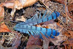 Blue jay feathers. Bright blue jay feathers fallen on the forest floor in Illinois Stock Photos