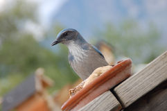 Woodhouse's Scrub Jay at feeder. Woodhouse's Scrub Jay ready to take peanuts from home feeder royalty free stock photos
