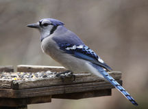 Blue Jay on a Feeder Stock Photo