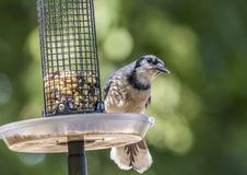 Blue jay on feeder. Blue jay on feeder looking for food Royalty Free Stock Image