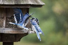Blue Jay at feeder Stock Photography