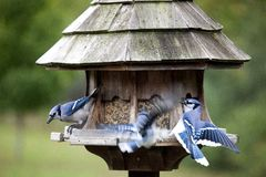 Blue Jay at feeder Royalty Free Stock Images