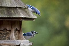 Blue Jay at feeder Stock Photos