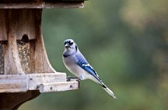 Blue Jay at feeder Royalty Free Stock Image