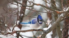 Blue Jay feeding in a snowy scene stock video footage