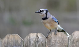 Blue Jay. On the fence Royalty Free Stock Photos