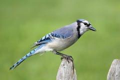 Blue Jay on a Fence Stock Photo
