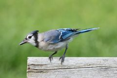 Blue Jay on a Fence. Blue Jay corvid cyanocitta with a colorful background Stock Photography