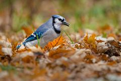 Blue Jay - Cyanocitta cristata. Blue Jay foraging among the autumn leaves fallen on the ground. Lynde Shores Conservation Area, Whitby, Ontario, Canada royalty free stock photography