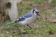 Blue Jay Foraging on the Ground Royalty Free Stock Photo