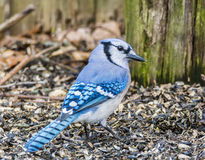 Blue Jay 2043. Blue Jay foraging for seeds Royalty Free Stock Images