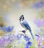 Blue Jay In The Garden. Blue Jay Perched In The Garden Royalty Free Stock Image