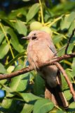 Blue Jay (Garrulus glandarius) closeup on a tree Royalty Free Stock Photography