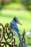 Blue Jay on Gate Stock Image