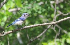 Blue jay. Geai bleu oiseau oiseaux bird birds tree trees branch branches Stock Photos