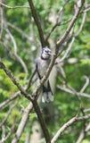 Blue jay. Geai bleu oiseau oiseaux bird birds tree trees branch branches Stock Images