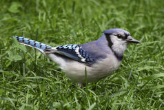 Blue Jay in the Grass Stock Photography