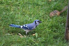 Blue Jay on grass Royalty Free Stock Images