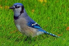 Blue jay on green grass stock image
