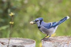 Blue jay, Ottawa, Canada. Blue jay holding a peanut in its bills, Ottawa, Canada royalty free stock image