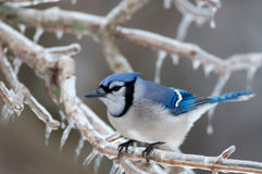 Blue jay on ice covered branches Stock Photos