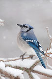 Blue jay on ice covered branches Royalty Free Stock Image