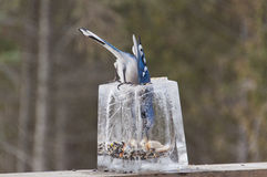 Blue Jay inside Ice Lantern Feeder getting Seeds Stock Photo